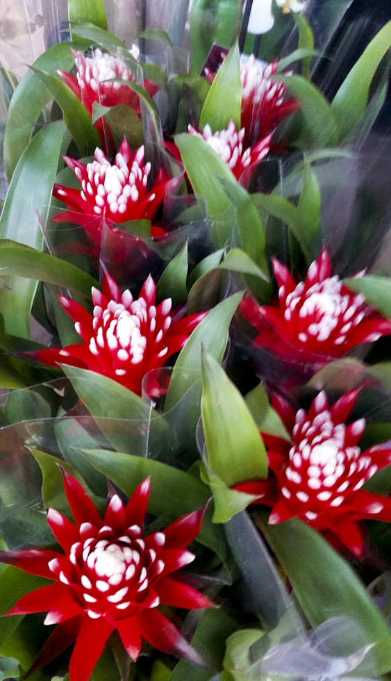 Red and White guzmania
