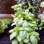 St Ermins new Herb Garden